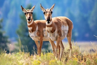 pronghorn antelope Yellowstone