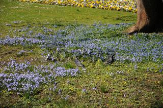 Scilla bifolia, Zweiblättriges Blausternchen, Alpine squill, Scilla sibirica