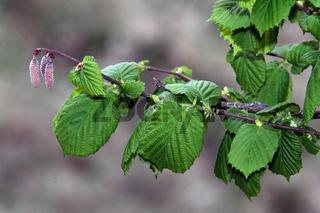 Corylus avellana, Haselstrauch, männl. Blüten
