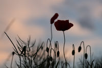 Red poppies silhouettes against the sky in sunset