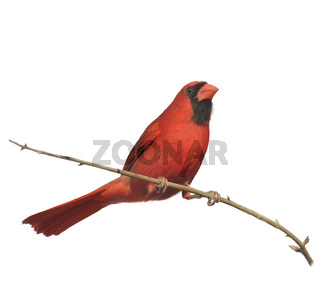 Digital Painting of Male Northern Cardinal