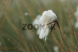 Wollgras im Neustaedter Moor