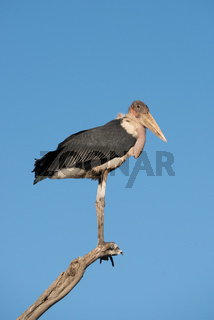 Stork perched on branch looking towards camera