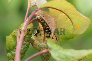Prunus avium, Skirsche, Blattluse, Marienkfer-Eier