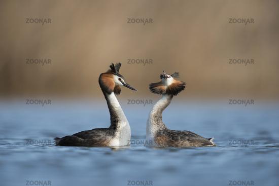 courtship behaviour... Great Crested Grebe *Podiceps cristatus*