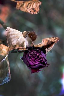 Verblühte Blumen.