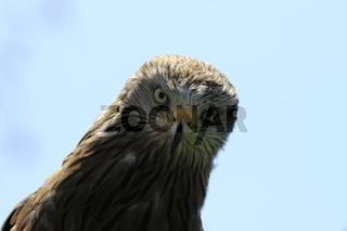 Schwarzmilan. Wassermilan. Black kite. Milvus migrans