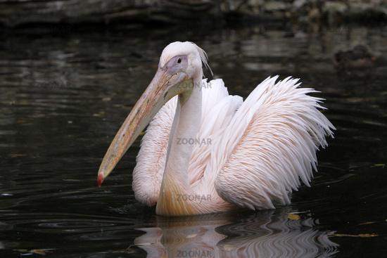 Pink pelican in water