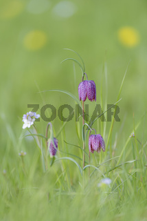 Schachblume, Fritillaria meleagris, Snakes Head fritillary