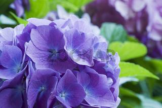Bloom of Hortensia