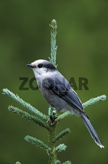Meisenhaeher sitzt auf einer Fichte und wartet auf Essensreste / Whisky Jack sits on a spruce tree and waits for leftovers - (Grey Jay - Canada Jay) / Perisoreus canadensis
