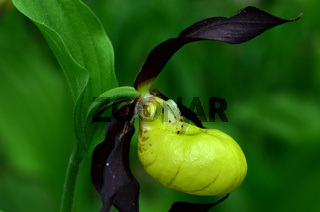 Frauenschuh; Cypripedium calceolus;
