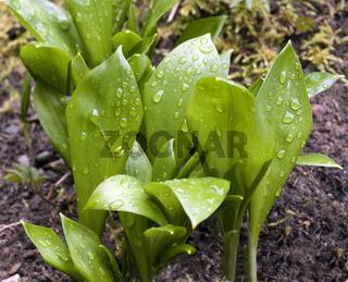 Baerlauch; Allium; ursinum