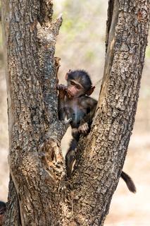 young baboon