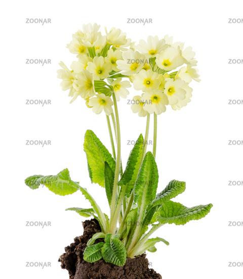 Oxlip, Primula Elatior on White Background