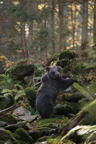 in autumn... European Brown Bear *Ursus arctos*