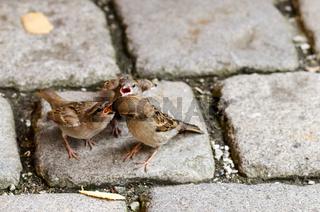 Sperling füttert seine Jungen, Spatzen
