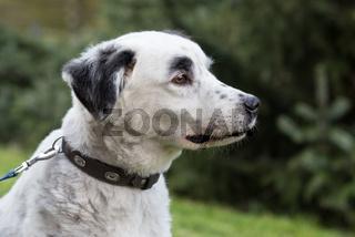 australien shepherd im portrait