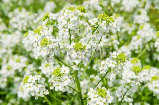 Small white flowers of horseradish, close-up