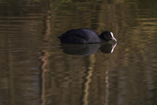 Black coot (Fulica atra)