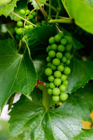 Branch of green grapes on vine in vineyard.