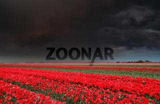 dark stormy sky over tulip field in spring