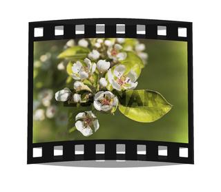 Apfelblüten | apple blossoms