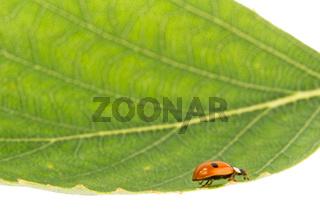 Ladybug on a leaflet