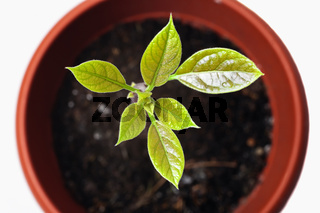 Young plant avocado in a pot