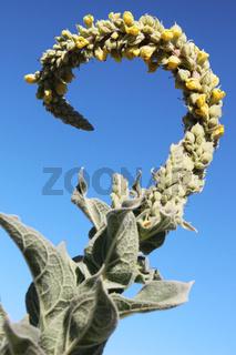 Koenigskerze (Verbascum thapsus)