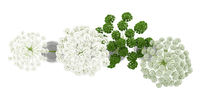 top view of wild carrot flowers in jars isolated on white background