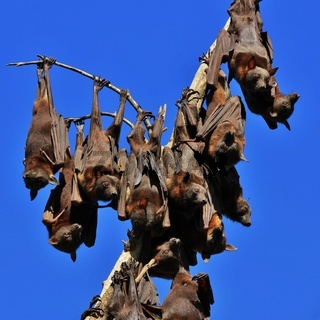 Flying foxes hanging on a branch of a tree