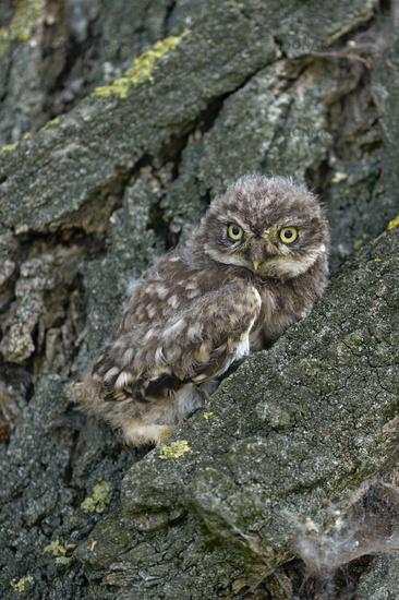little owl... Minervas Owl *Athene noctua*