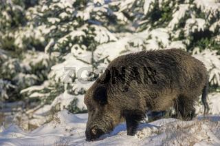 Wildschweinkeiler im Winter auf Nahrungssuche - (Schwarzkittel - Wildschwein) / Wild Boar tusker searching for food in winter - (Wild Hog - Feral Pig) / Sus scrofa