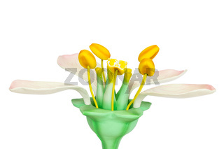 Model of flower with stamens and pistils on white background