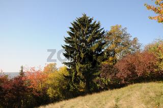 Picea abies, Waldfichte, Norway spruce