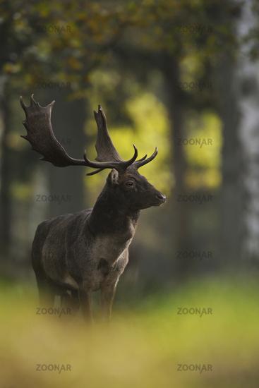 dark autumn colours... Fallow Deer  *Dama dama*