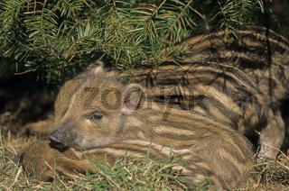 Frischlinge suchen Schutz unter Fichtenzweigen - (Wildschwein - Schwarzwild) / Wild Boar piglets searching for protection under spruce branches - (Wild Hog - Feral Pig) / Sus scrofa