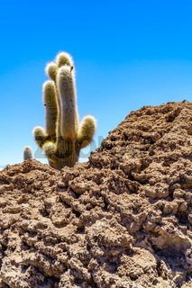Cactus at Incahuasi Island