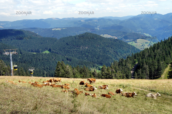 Cow herd and the Belchen cable car