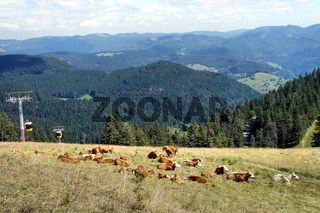 Kuhherde und die Belchen-Seilbahn