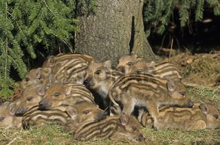 Frischlinge liegen eng zusammen  schlafen - (Schwarzwild - Wildschwein) / Wild Boar piglets lying close together  sleeping - (Wild Hog - Wild Boar) / Sus scrofa
