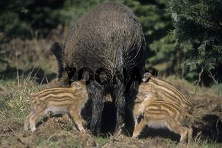 Wildschweinbache saeugt ihre Frischlinge - (Schwarzwild - Wildschwein) / Wild sow lactating her piglets - (Wild Hog - Wild Boar) / Sus scrofa