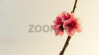 Peach blossom on white