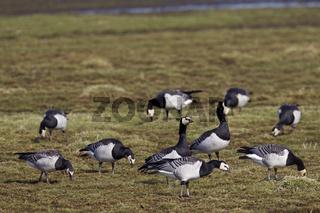 Weisswangengaense suchen Nahrung auf einer Wiese - (Nonnengaense) / Barnacle Geese foraging on a meadow / Branta leucopsis