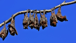 Flying foxes resting on a branch of a tree