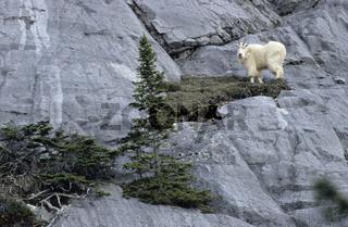 Schneeziegenbock steht in einer Felswand  beobachtet die Umgebung - (Bergziege) / Mountain Goat billie standing in a crag  observing his environment - (Rocky Mountain Goat) / Oreamnos americanus