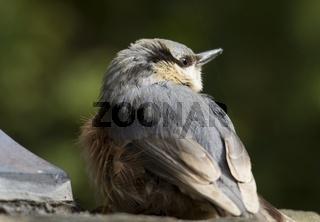 Kleiber - Jungvogel
