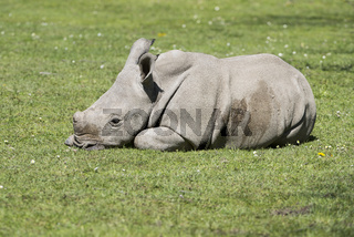 Ceratotherium simum simum,Breitmaulnashorn,Huftier,Säugetier, White rhinoceros,cub,Jungtier,
