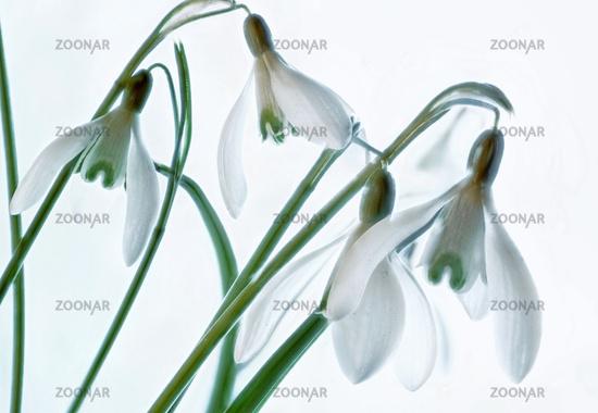 White snowdrop on white background